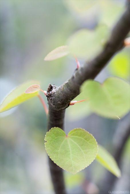 ハート型の葉っぱを付けるのはカツラという木でしょうか