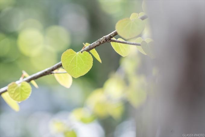 ハートの形をした葉っぱの付いた木を教えてもらいました